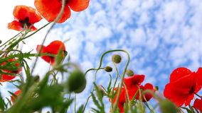 Red Poppies on Background with Blue Sky stock footage