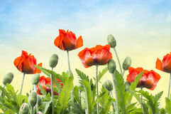 Red poppies on  background of dawn sky Royalty Free Stock Photo