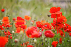 Red poppies. On a background of green grass Stock Photo