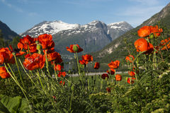Red poppies on a background of snow-capped mountain peaks, Stryn, Norway Stock Image