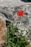 Red poppies on a background of stones Stock Images