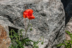 Red poppies on a background of stones Royalty Free Stock Photos