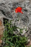 Red poppies on a background of stones Royalty Free Stock Photo