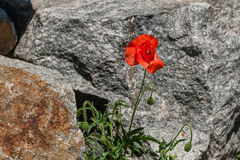 Red poppies on a background of stones Royalty Free Stock Image