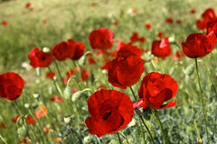Red poppies backgrounds in green grass field. Close up of common poppies (Papaver Rhoeas). Some in focus and others in blur. Taken in Peloponnese - Greece Royalty Free Stock Photos