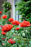 Red poppies in backyard Royalty Free Stock Photography
