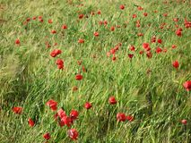 Red poppies in barley field Stock Photography