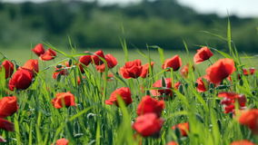 Red poppies stock video footage