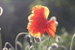 Red poppies in bloom. Close-up Royalty Free Stock Photo