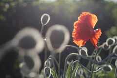 Red poppies in bloom Stock Photo