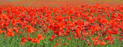 Red poppies that bloom in the field royalty free stock photos