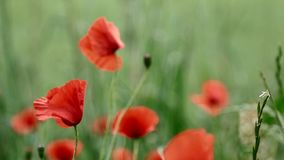 Red poppies in bloom on a green field stock footage