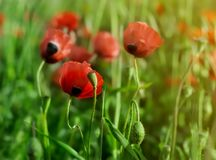 Red poppies in bloom at green field at sunlight royalty free stock photos