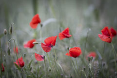 Red poppies in bloom on a green retro field background Stock Image
