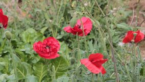 Red poppies bloomed in the orchard stock video footage
