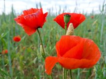 Red poppies blooming and already faded on the field.  stock photography