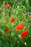 Red poppies blooming. On field Stock Photo