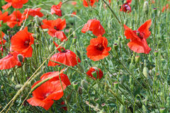 Red poppies blooming. On field Royalty Free Stock Photos