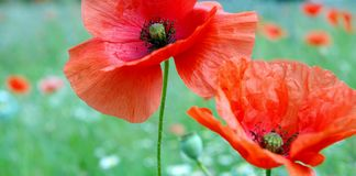 Red poppies blooming on the field. close up. Royalty Free Stock Photos