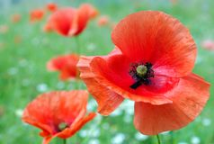 Red poppies blooming on the field. close up. Stock Photos