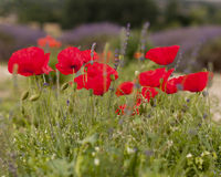 Red Poppies. Blooming in a meadow Royalty Free Stock Image