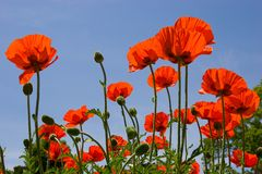 Red poppies on the blue sky stock photos