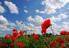 Red poppies and blue sky. Closeup of a field with red poppy flowers (poppies) with blue cloudy sky in the background stock images