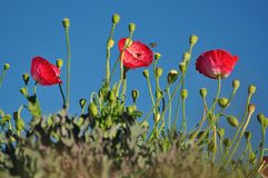 Red poppies with blue sky Royalty Free Stock Photo