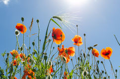 Red poppies and blue sky Royalty Free Stock Photos