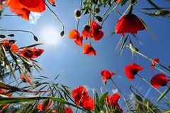 Red poppies and blue sky. Red poppies in corn field and the blue sky as background stock images
