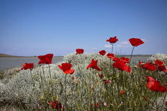 Red Poppies, Blue Sky. Royalty Free Stock Photo