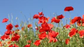 Red poppies with blue sky in the background stock video footage