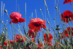 Red poppies on a blue sky background Royalty Free Stock Image