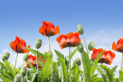 Red poppies on blue sky, floral background Stock Photos