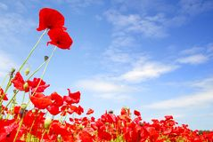 Red poppies and blue sky in holland Royalty Free Stock Photo