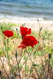 Red poppies and blue sky and sea, Bakcground. royalty free stock photos
