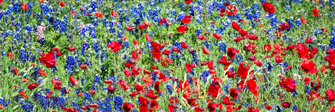 Red Poppies and Bluebonnets Royalty Free Stock Photography