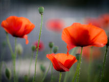 Three Red Poppies with blurred background Stock Images