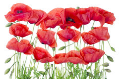 Red  poppies border Stock Photos