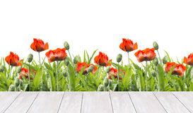 Red poppies border and white wooden terrace, isolated on white royalty free stock photography