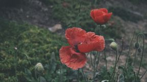 Red poppies in the botanical garden stock photography