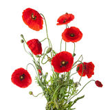 Red poppies. Bouquet of red poppies isolated on white royalty free stock photo