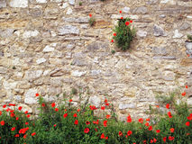 Red poppies on brick background. Red poppies growing on the old stone wall Stock Images