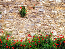 Red poppies on brick background Royalty Free Stock Image