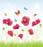 The Red Poppies and Butterflies. Stock Photography