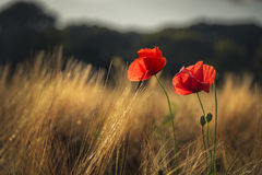 Red poppies catching the last golden sunlight in a wheat field Royalty Free Stock Photography