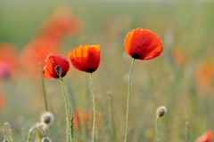 Red poppies on cereal field Stock Images
