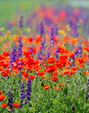 Red poppies on cereal field in summer Royalty Free Stock Photos