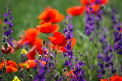 Red poppies on cereal field in summer Royalty Free Stock Images
