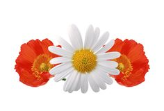 Red poppies and chamomile isolated on white Royalty Free Stock Images